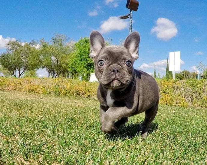 Beautiful litter of French bulldogs petworldglobal.com