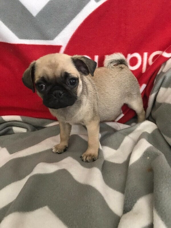 Pug Puppies - Male and Female Pug for New Homes petworldglobal.com