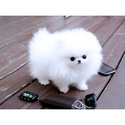beautiful Pomeranian Puppies for sale 1