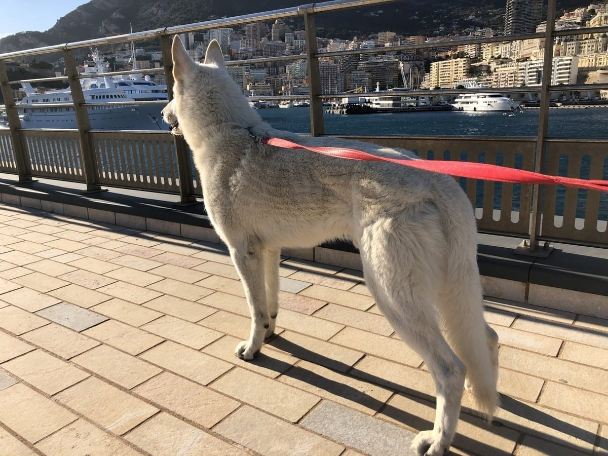 Monaco Sport and Dogs - Dog is a Wonder of Universe