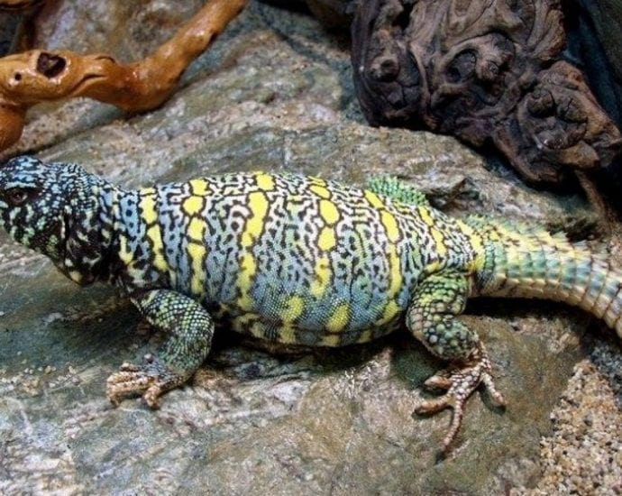 Uromastyx Ornata Spiny Taled Lizards