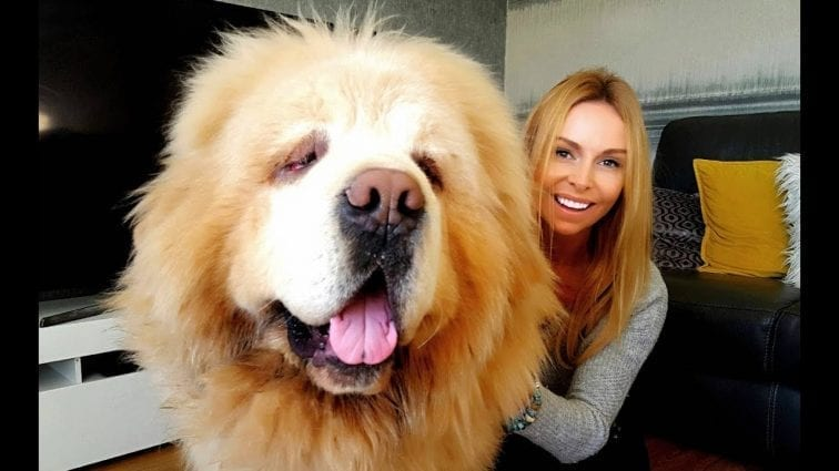 Most Expensive Dog In the World Chinese Tibetan Mastiff