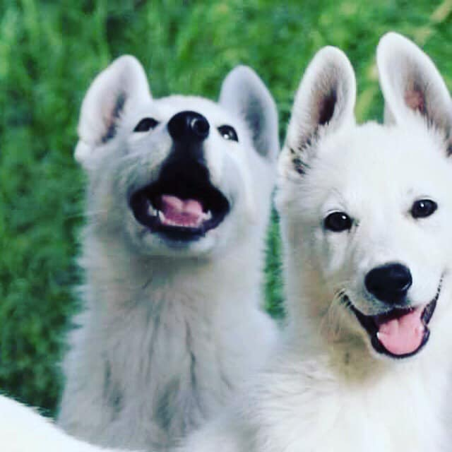 White Swiss Shepherd Puppies For Sale 2 High Quality Puppies