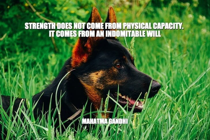 Daily Quotes: Strength Does Not Come From Physical Capacity. It Comes From An Indomitable Will petworldglobal.com