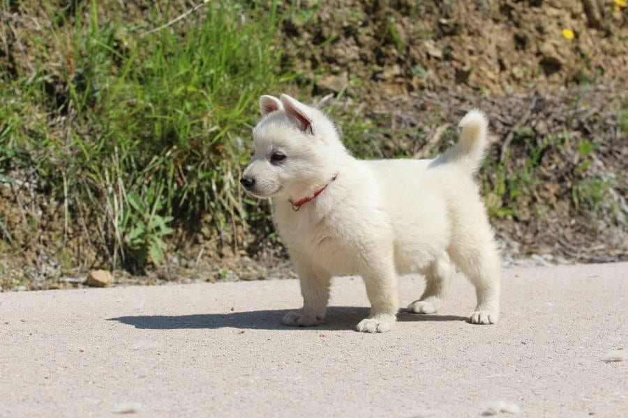 White Shepherd Puppies for Sale BTWW lines 2019