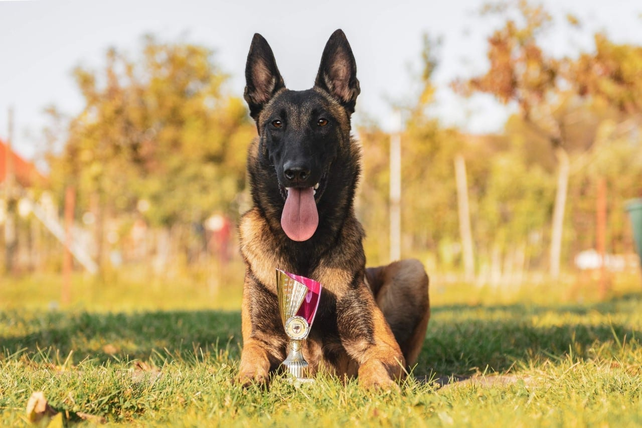 Malinois Born to Win Warrior Helios Best in Show