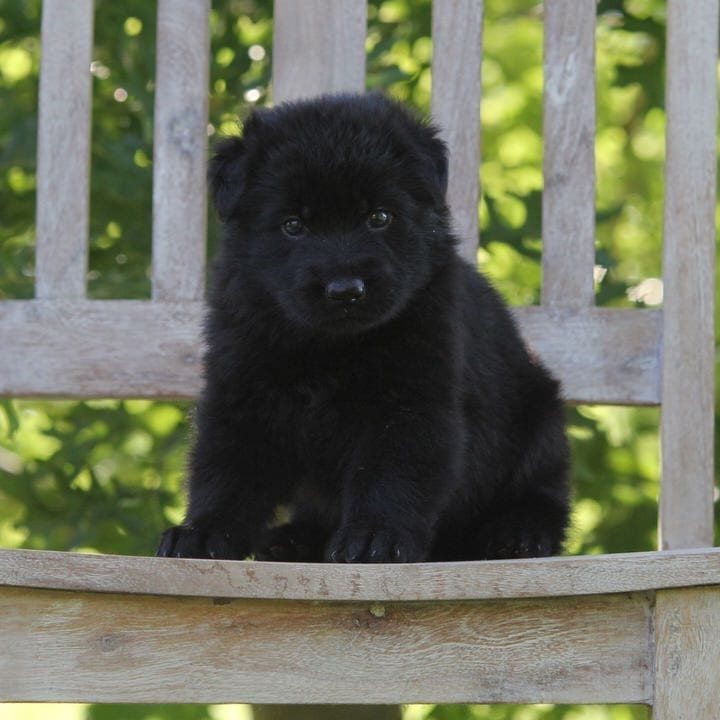 Black German Shepherd Puppies Available From Titled Imported Health Tested Parents petworldglobal.com