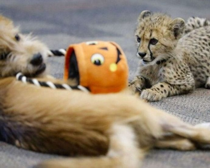 Rescue Dog Best Friend of Cheetah Cub at Cincinnati Zoo