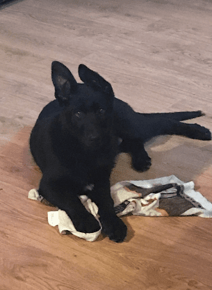 Excellent Black German Shepherd Male Puppy United States
