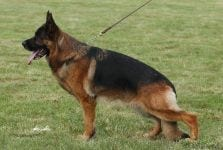 Top show Quality Imported German Shepherd puppies 227