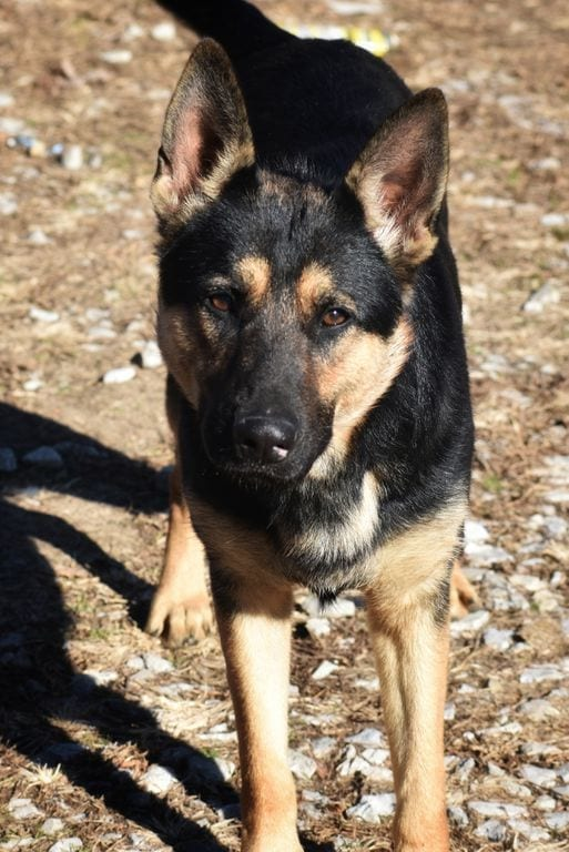 AKC GERMAN SHEPHERD FEMALE FOR SALE CHRIS SPOND GRANDDAUGHTER 7