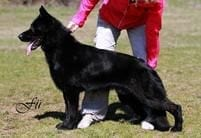 Black German Shepherd Import Czech Republic Trained Titled for Sale NW Florida 80