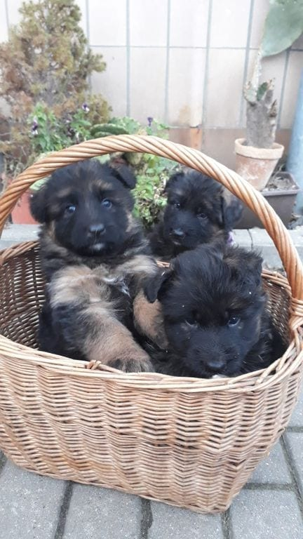 Long-haired German Shepherd Puppies SV Pedigree Mars von Aurelius in Poland 7
