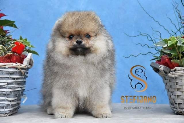 Pomeranian Puppy for Sale - Pomeranian Teddy Bear Male from Kennel Stefiano 7