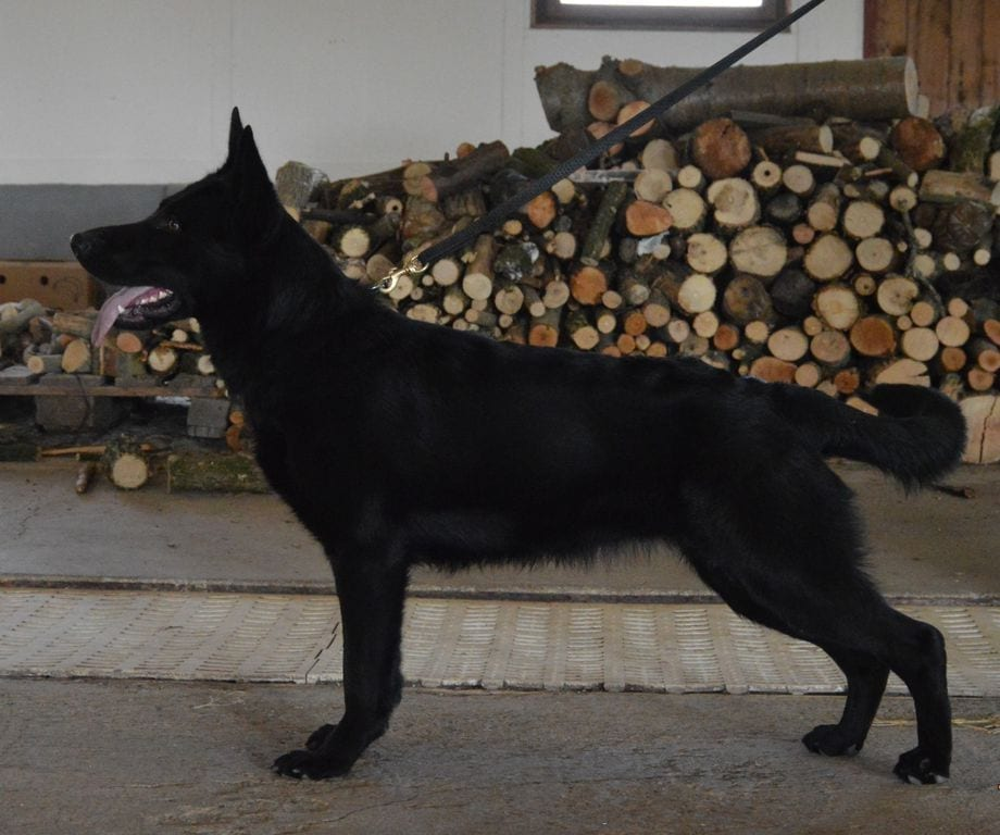 12 Months Solid Black German Shepherd Female for Family Protection in Czech Republic petworldglobal.com
