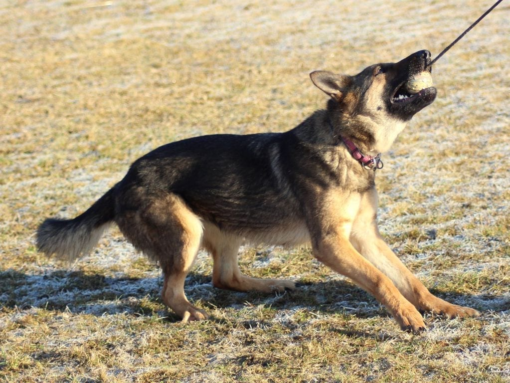 14 Month Young Sable German Shepherd Female in Czech Republic petworldglobal.com