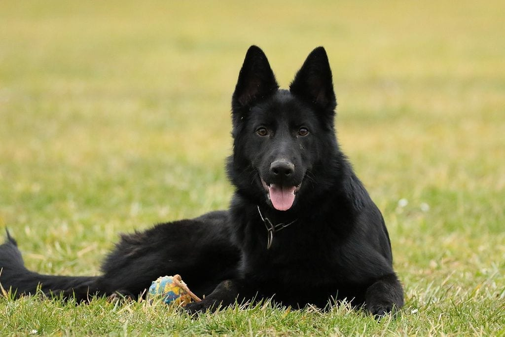 7 Month Black German Shepherd Male for Family petworldglobal.com