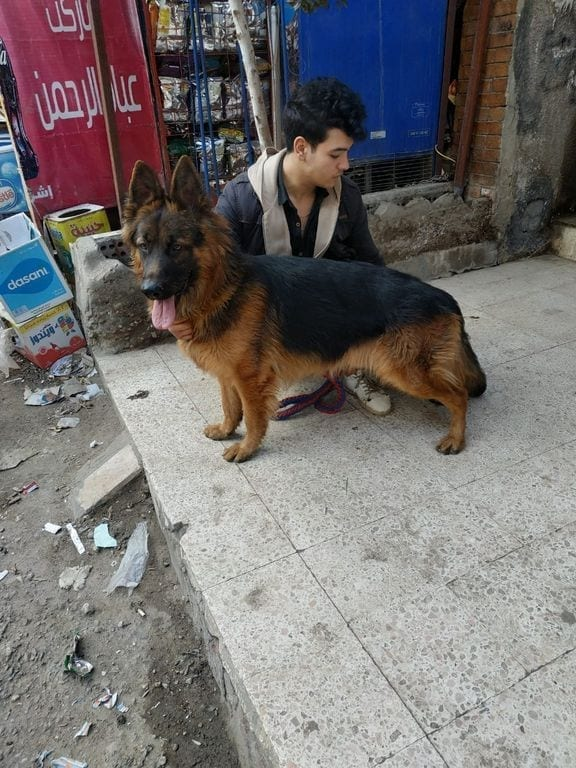 20 Month old German Shepherd Male Grandson of Remo in Egypt ?? petworldglobal.com