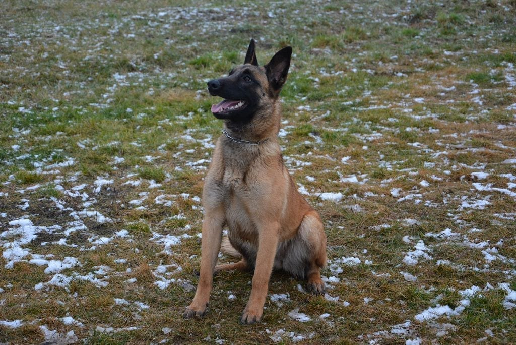 Belgian Malinois Female for Sale in Slovakia Personal Protection Dog Security Service Sport petworldglobal.com