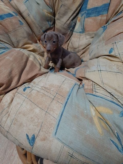 Dachshund Puppies Merle and Ordinary Colors 7