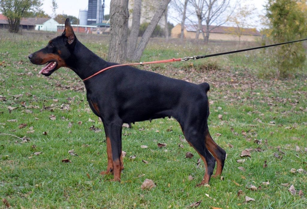 Young Doberman Pinscher Female for Sale in Netherlands petworldglobal.com