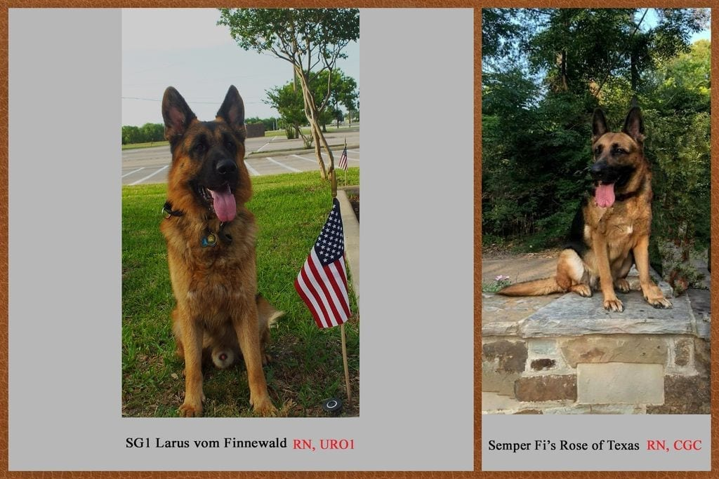 Excellent Upcoming Quality West German Shepherd Litter in Dallas Texas petworldglobal.com