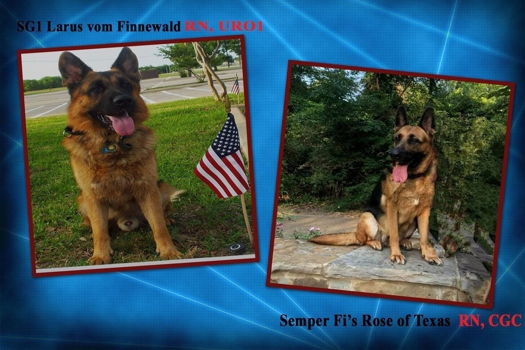 Excellent Upcoming West German Shepherd Litter in Dallas Texas Larus vom Finnewald x Semper Fi Rose of Texas petworldglobal.com