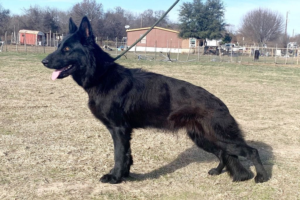AKC German Shepherd Dog Female for Sale Dallas Texas 8 months old trained $1,600 petworldglobal.com