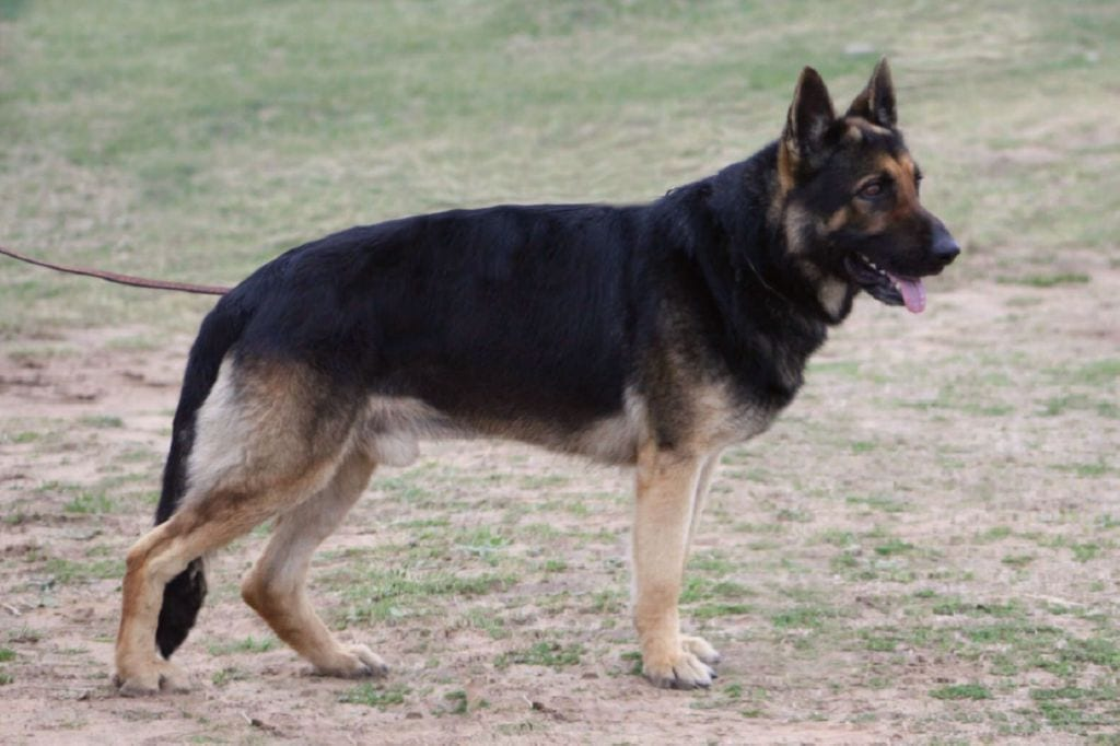 German Shepherd Dog Male for Sale Dallas Texas Direct Import Trained Bitework $2500 petworldglobal.com