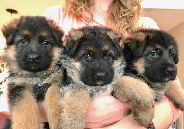 German Shepherd Puppies from Imports South Carolina 1500 petworldglobal.com