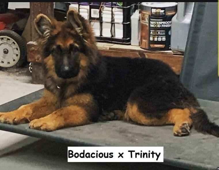 Ocoee Valley's Long Coat Red and Black German Shepherd Puppies in Cleveland Tennessee petworldglobal.com