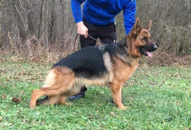 Super VA Lucka Buchenland daughter For Sale in Germany 7