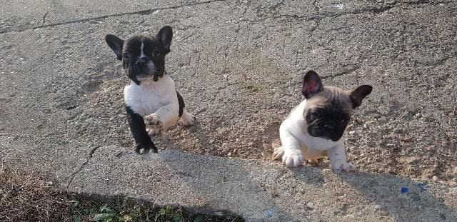 TOP French Bulldog Puppies for sale 7