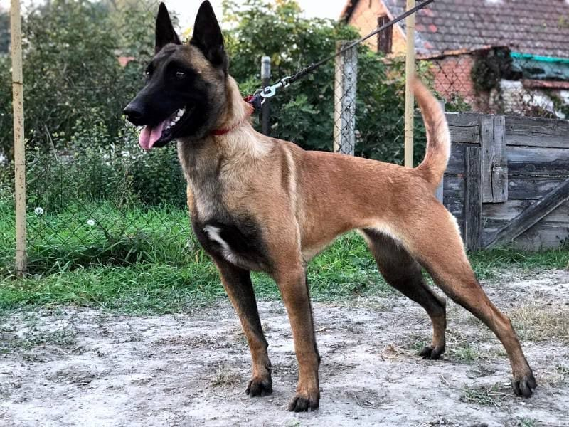 TOP Working Line Malinois Female for Sale in the Netherlands petworldglobal.com