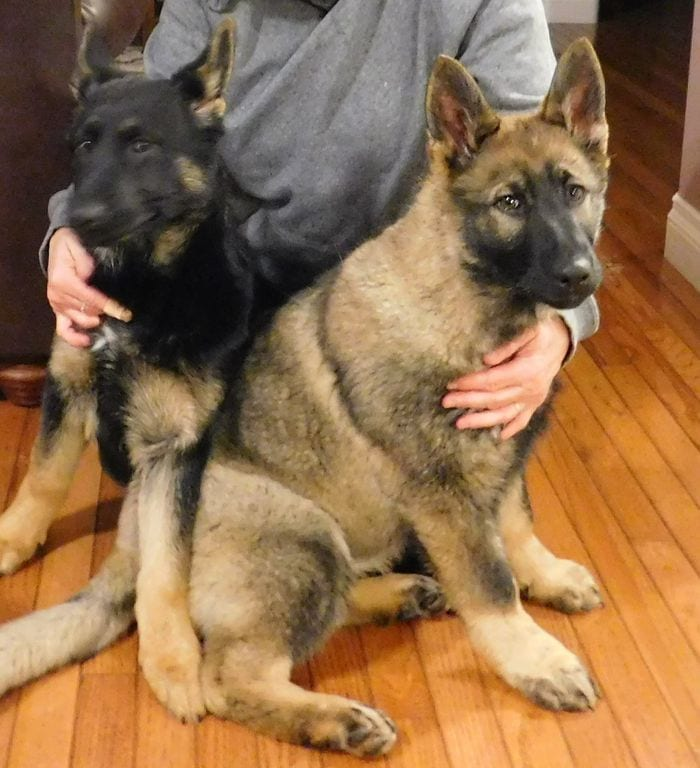 WUSV CH IRON v.d. WOLFEN Grand Sire Sable German Shepherd Female Puppy in Canada petworldglobal.com