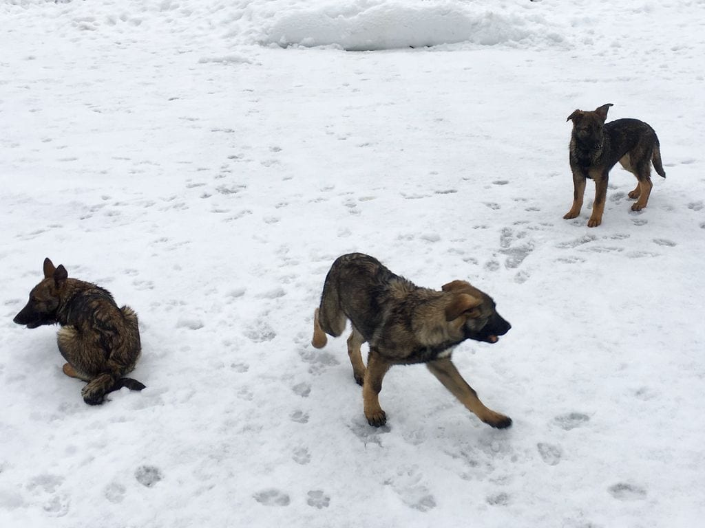 Super high quality German Shepherd pups out of the best working dogs in the world petworldglobal.com