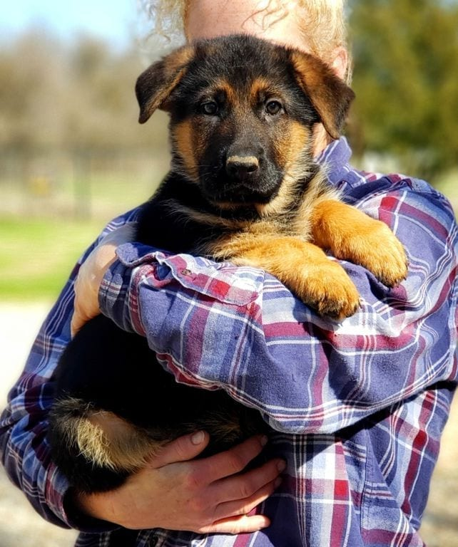 Gorgeous female GSD Puppy from VA1 Xentos von der Wilhelmswarte petworldglobal.com