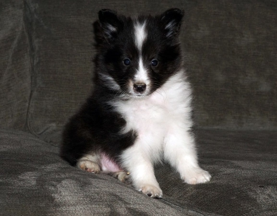 CKC Toy Size Small Shetland Sheepdog Sheltie Puppies Ohio petworldglobal.com
