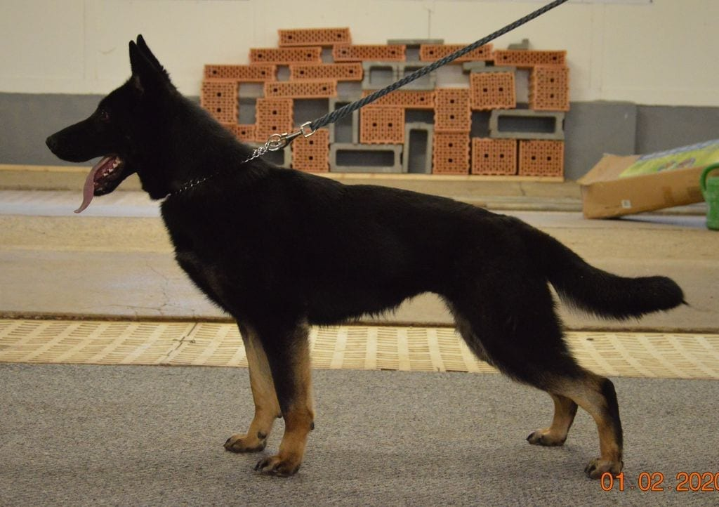 Knox Tollhaus daughter for TOP sport PP and breeding petworldglobal.com