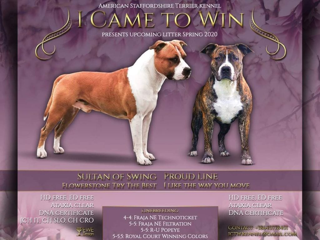 TOP American Staffordshire Terrier Puppies for sale petworldglobal.com