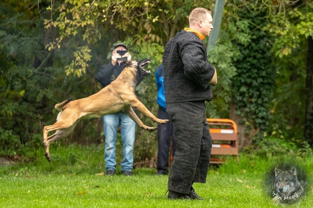 Police Dogs Europe Pedigree Malinois Puppies from multi KNPV titled parents petworldglobal.com