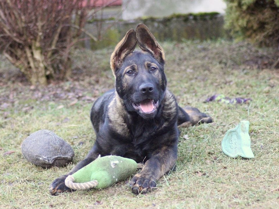 Harley Davidson Marsyas Bohemian Extra Dark Sable Male German Shepherd Puppy in Czech petworldglobal.com