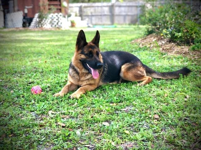 Bred German Shepherd Female for sale 3,000 in FL petworldglobal.com