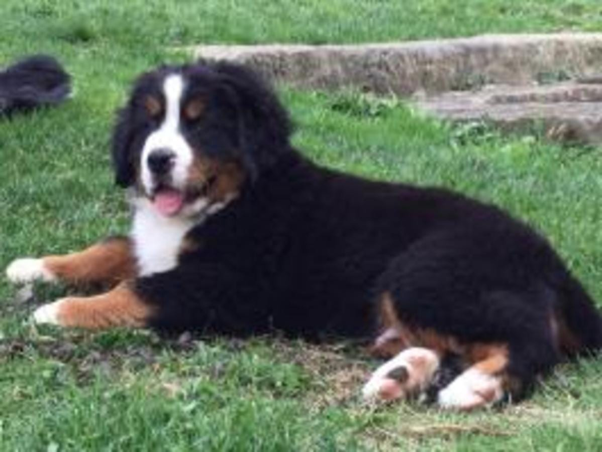PAWSOME AKC Bernese Mountain Dog Puppies UK Import in Brighton Michigan petworldglobal.com