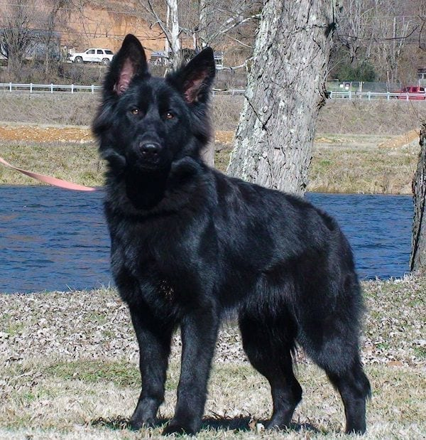 Solid Black Plush Coat GSD Female for Pet Home in Johnson City Tennessee petworldglobal.com