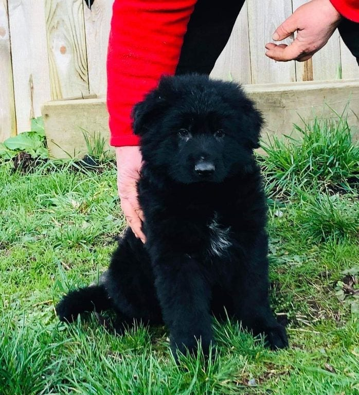All Black Showline German Shepherd Puppies Long and Short Coat in WA petworldglobal.com