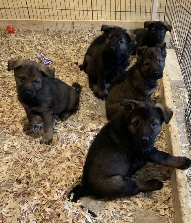 Czech DDR German Shepherd Puppies from Import Male petworldglobal.com