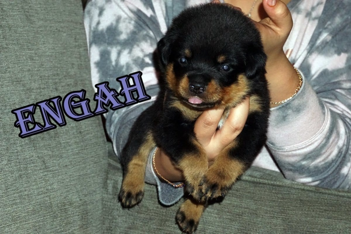 Outstanding AKC Rottweiler Puppies Females Available Heath Ohio petworldglobal.com