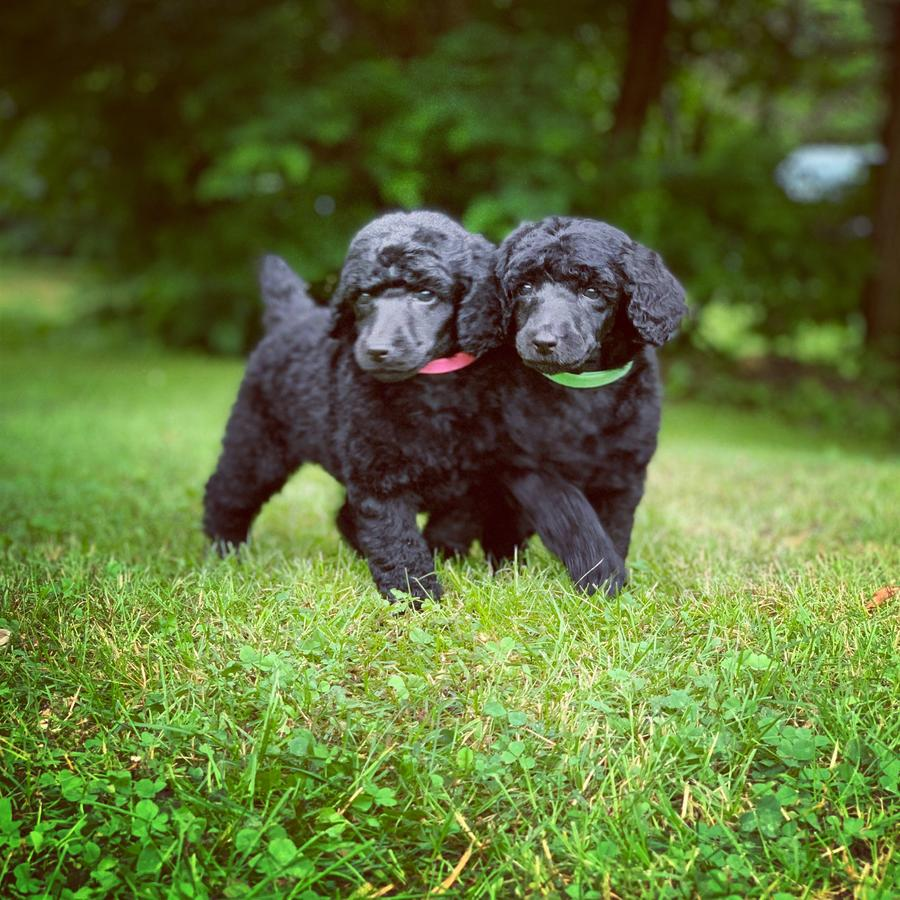 AKC Standard Poodle Puppies Ready to go now in Pittsburgh Pennsylvania petworldglobal.com