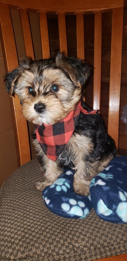 AKC Yorkshire Terrier Puppies Male and Female Albertville Minnesota petworldglobal.com